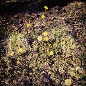 Blomster og ugress side ved side i min nordnorske naturhage/plen